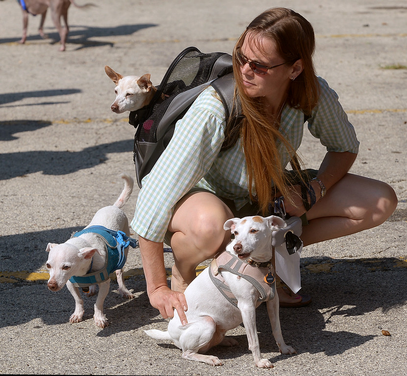 Description of . Karen Kingma keeps her three mixed Chihuahua's, from front right, Penny, Nigel and Pookles, calm is the swirl of dogs waiting for the start of the Ambler Dog Days Parade Saturday, Aug. 9, 2014.  Montgomery Media staff photo by Bob Raines