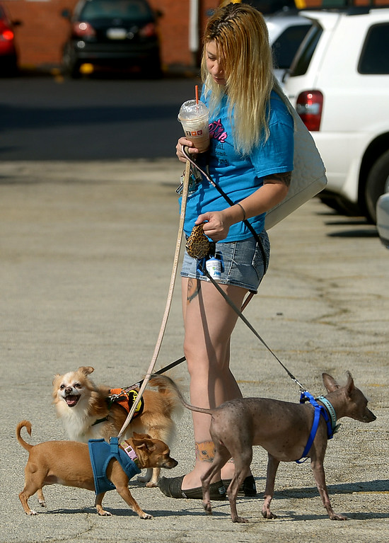 Description of . Annie Damico is in danger of looking like a Maypole as her dogs wrap their leashes around her during Ambler's Dog Days Saturday, Aug. 9, 2014. The three dogs are, from right, Gizmo, a Chinese hairless crested, Mookie, a Chihuahua, and Fluffy, a Chihuahua/Pomeranian mix.