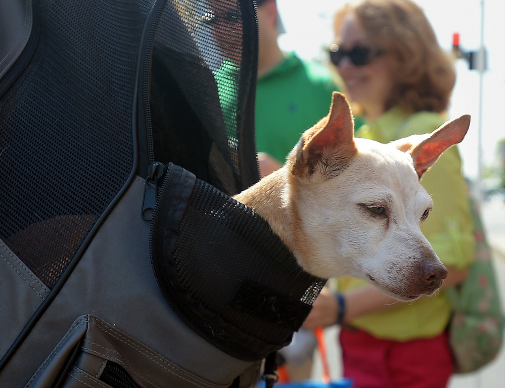Description of . Pookles, a 17-year-old Chihuahua, got to ride like a papoose in Karen Kingma's back pack for the Ambler Dog Days Parade Saturday, Aug. 9, 2014.  Montgomery Media staff photo by Bob Raines