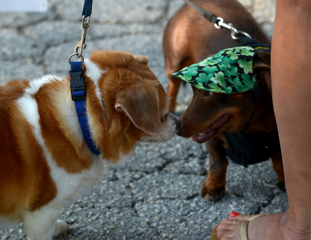 . Brownie, a rescue dog, and Lily, a dachshund trade news of the dog world during Ambler\'s Dog Days Saturday, Aug. 9, 2014.  Montgomery Media staff photo by Bob Raines